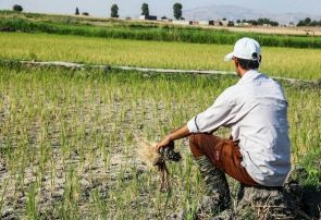 کاهش ۳۰ درصدی بارش باران/ شالیکاران بیمه محصول برنج را جدی بگیرند