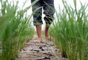 کمآبی در برخی از شالیزارهای رشت/ کشاورزان شالیزارها را بیمه کنند