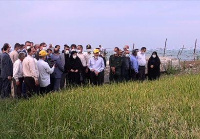 معرفی ارقام برنج متناسب با شرایط آب و هوایی گیلان