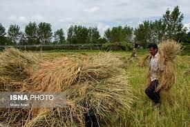 باران و افزایش رنج برداشت برنج در گیلان